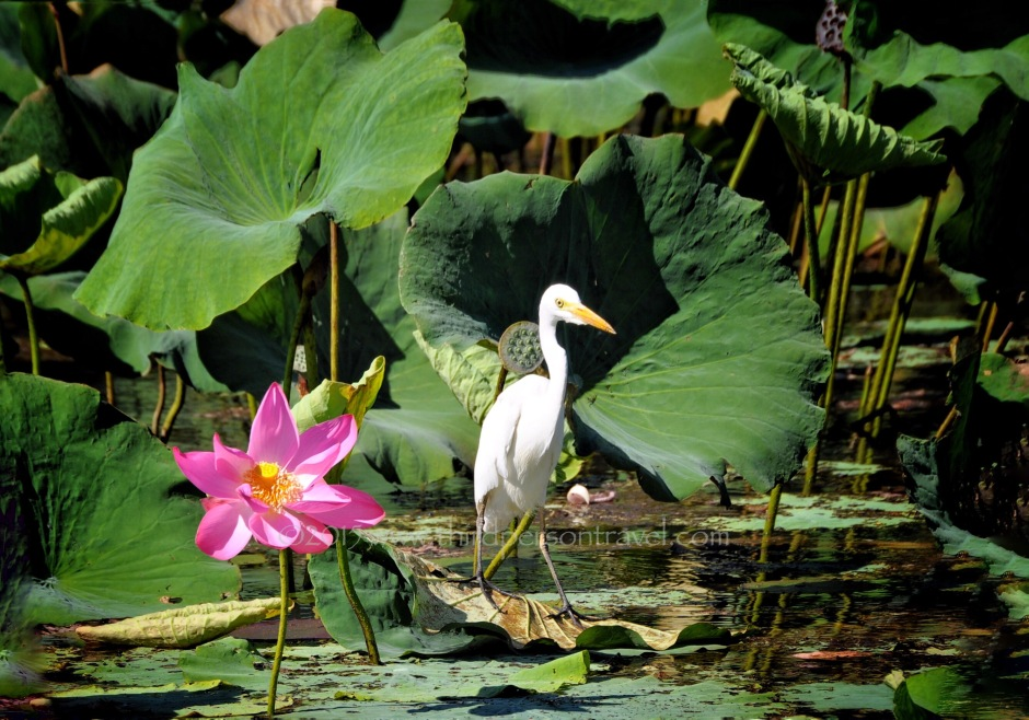 Egret afloat