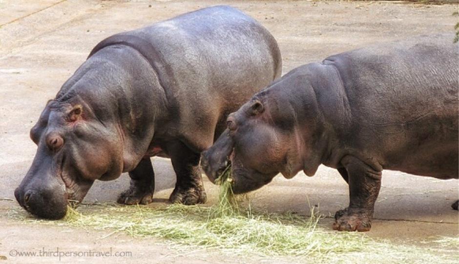 Dinnertime for the hippos